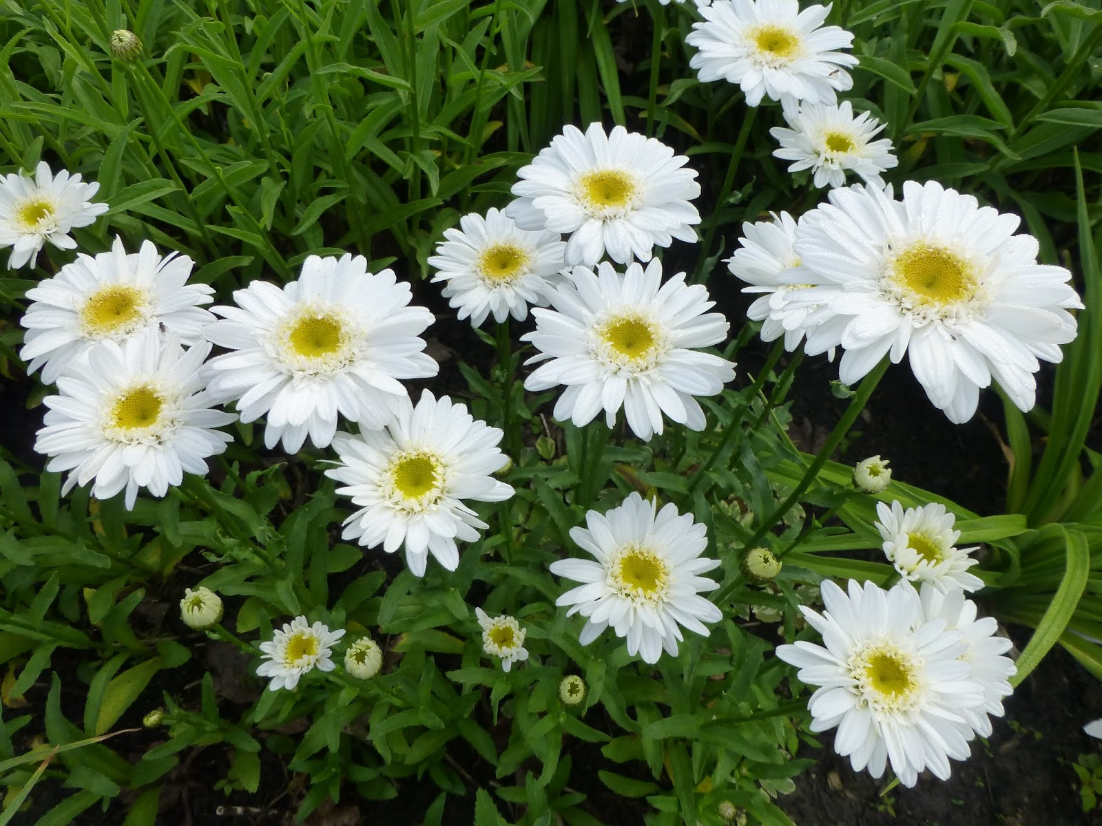 My life in retirement he loves mehe loves me not i love daisies singles doubles tall or short they are just the cheeriest flower izmirmasajfo