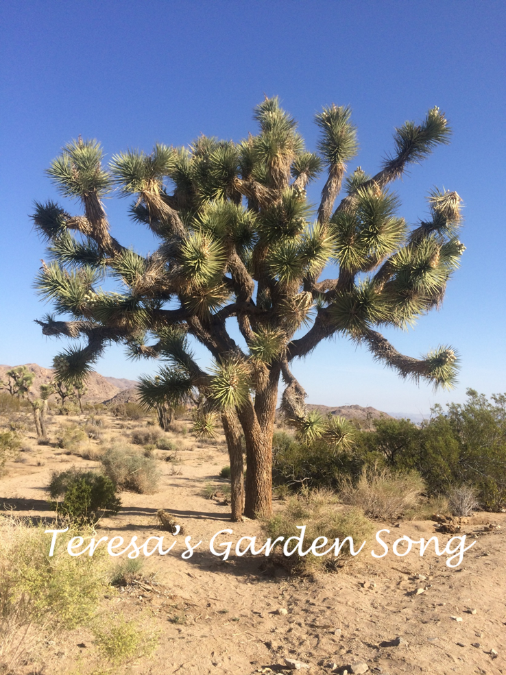 Song Joshua Tree Native Plant Joshua Tree