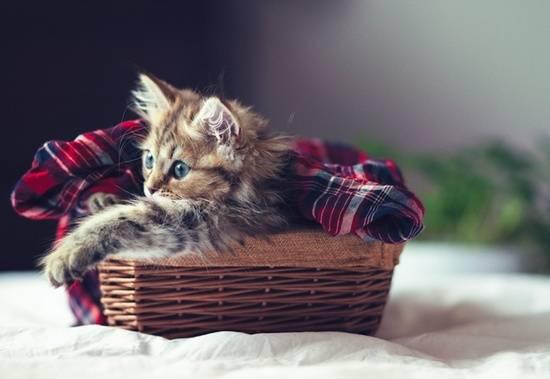 anak-kucing