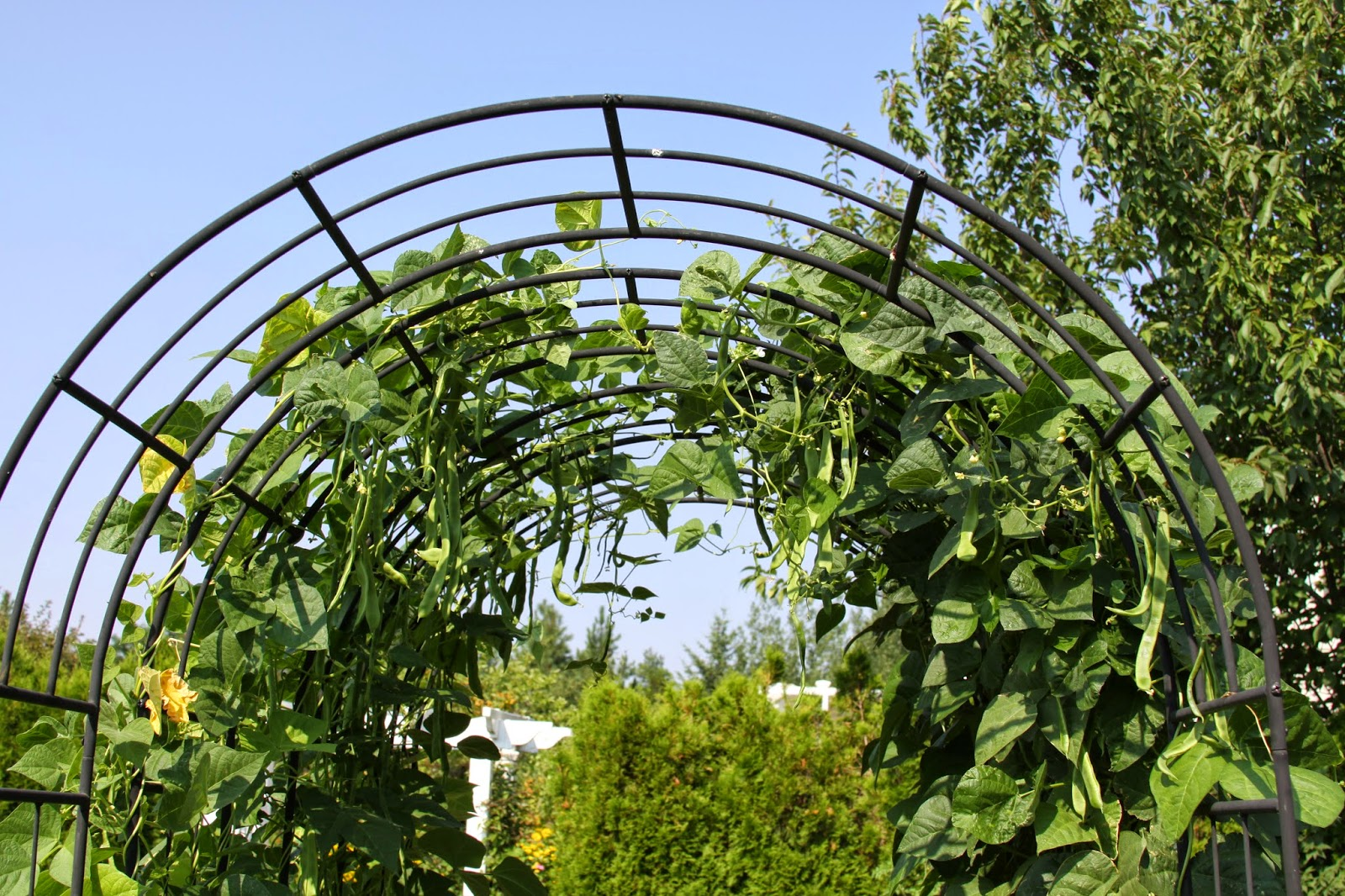 Awesome Pole Bean Trellis Ideas Part - 14: Pole Bean Trellis