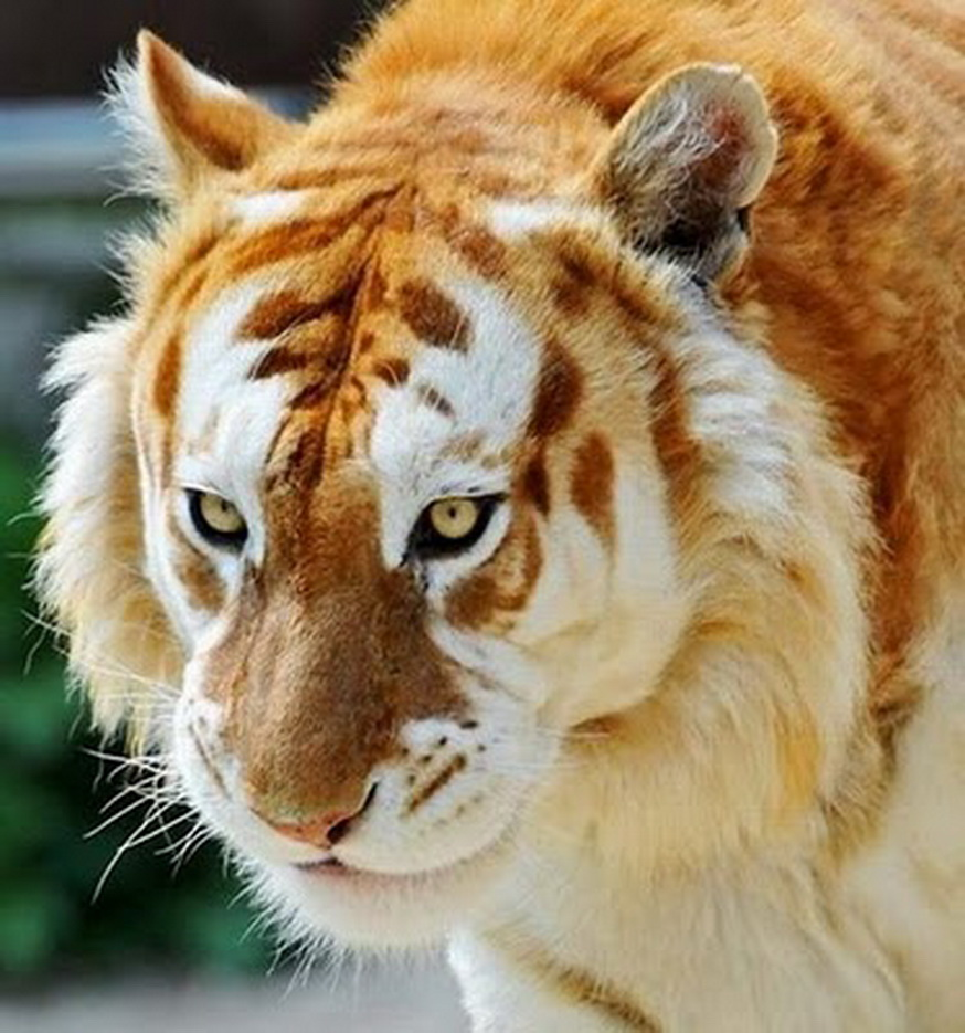 Blog Medioambiente.org : El rarísimo tigre de fresa (sólo existen 30)