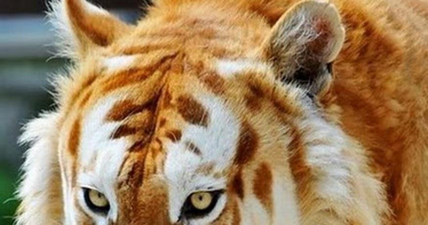 Resultado de imagen para tigre dorado