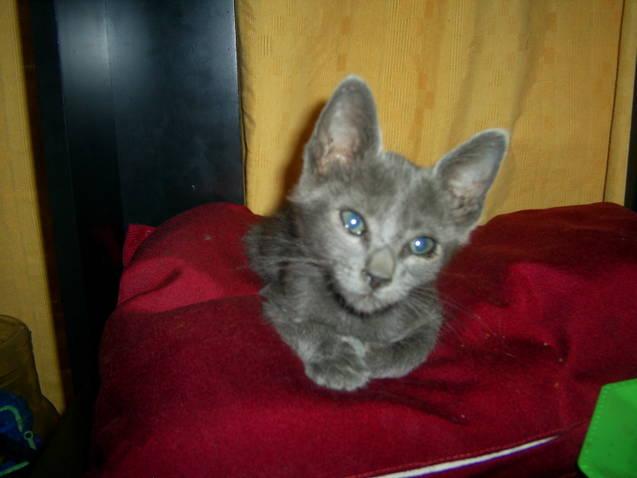 Adopt ndonos precioso gatito beb color gris plomo en for Color plomo
