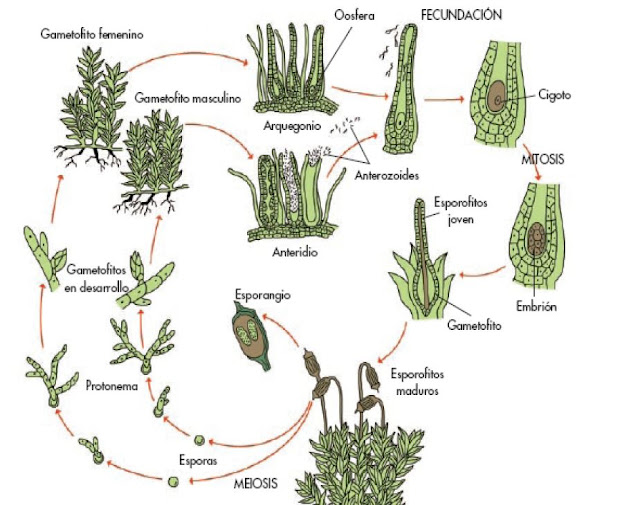 Biolog a - Reproduccion del bambu ...