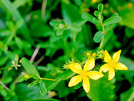 MENOMINEE COUNTY WILDFLOWERS: Common St. Johnswort