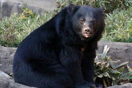 Red panda - Wikipedia