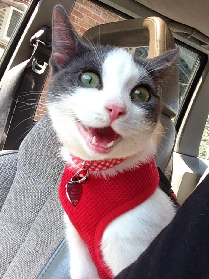 Funny cats - part 81 (40 pics + 10 gifs), cat pics, cat wears red vest