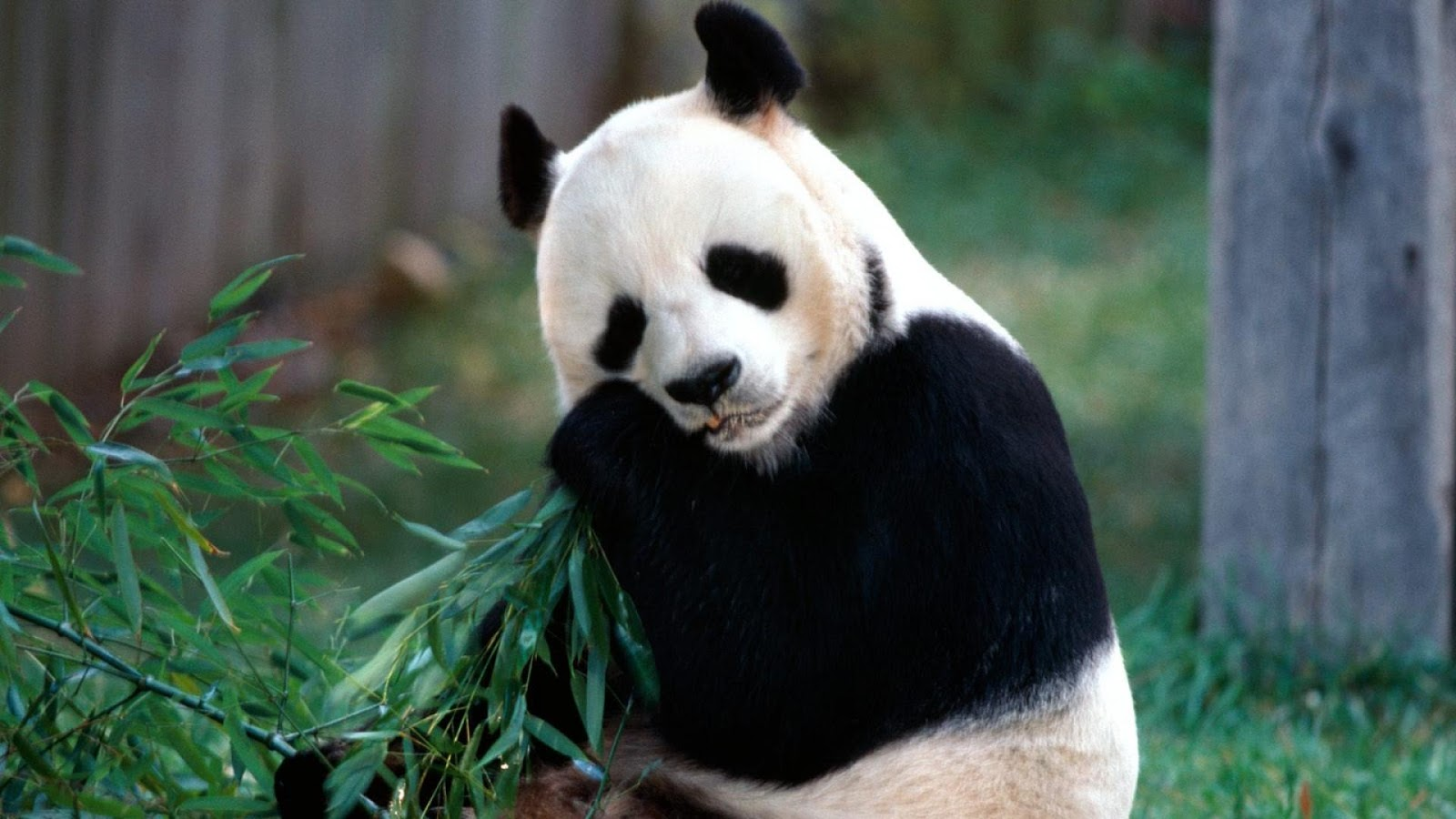 panda pictures hd wallpapers - photo #8