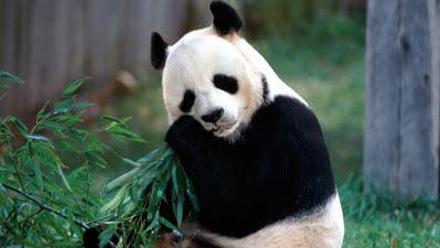 Panda Güzel Soğuk Hd Wallpaper 2.013