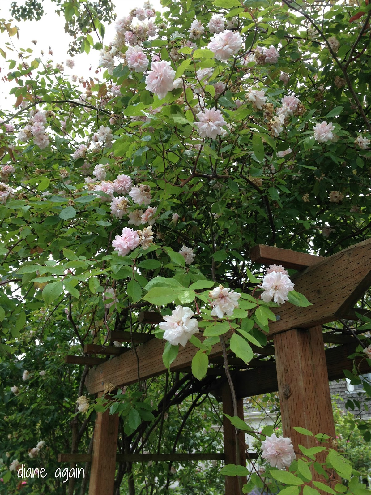 Diane again june is a month that plays with my heart - Climbing rose trellis ...
