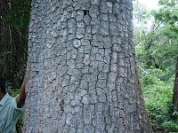 Matti tree