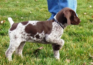 Home  GERMAN WIREHAIRED German Wirehaired Pointer Training Videos