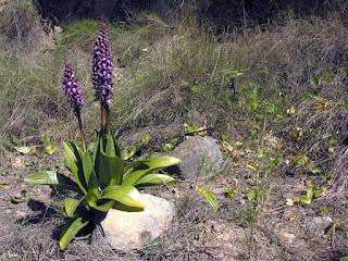 Grupo de tres grandes orquídeas gigantes (Barlia robertiana), en la Rambla del Valle