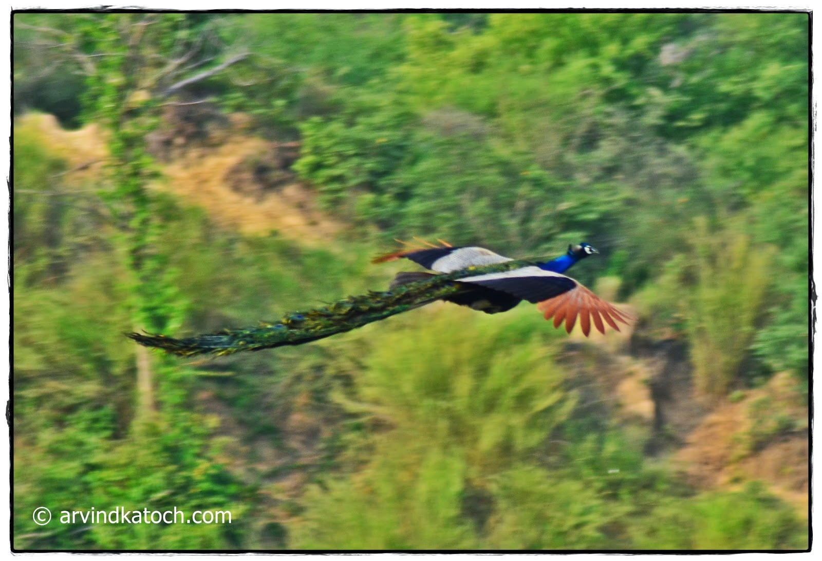 Peacock, Flying