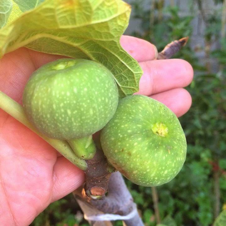 Yellow Egyptian fig