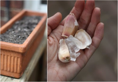 step by step how to plant garlic