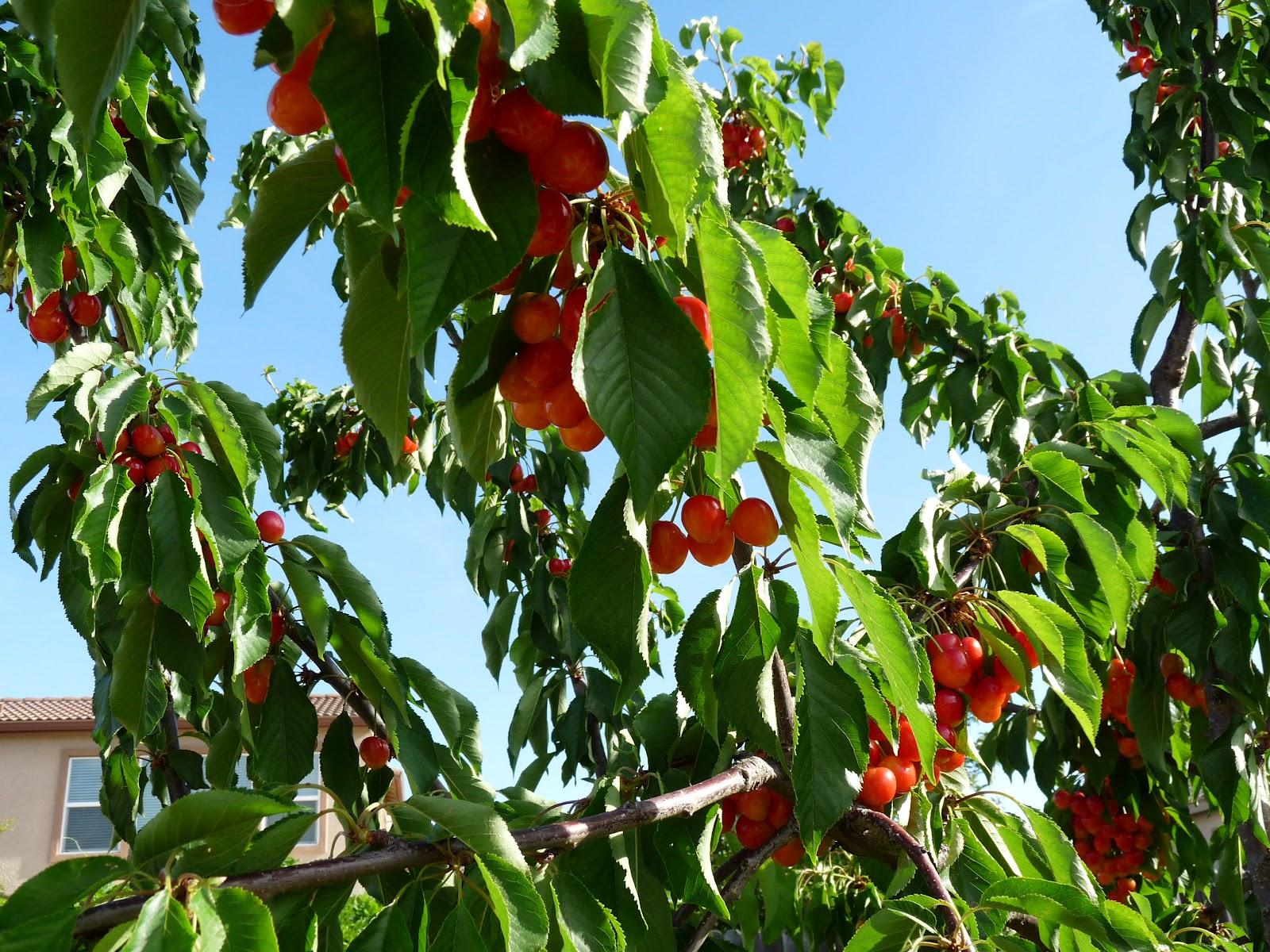 Sacramento vegetable gardening a royal harvest - Romanian cherry tree varieties ...