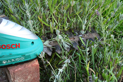 trimming a lavender bush using a Bosch hand held cutter