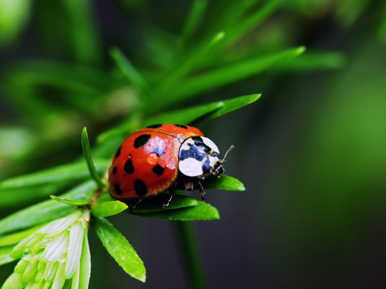 insects ladybirds desktop wallpapers - photo #30
