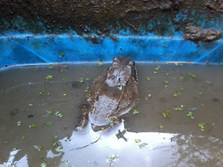 Toad being nosy whilst I clean the pond.