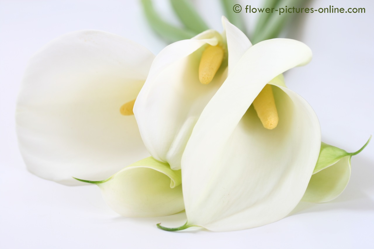White calla lily flower widescreen wallpaper 1280 x 853 for Calla lily flower meaning
