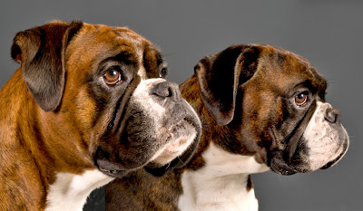 boxer dog, dog pictures, portraits