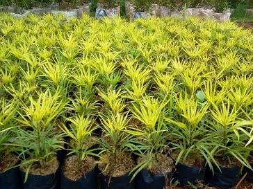 Jual ararea daun kuning | macam tanaman hias | tanaman pelindung | tanaman binsai