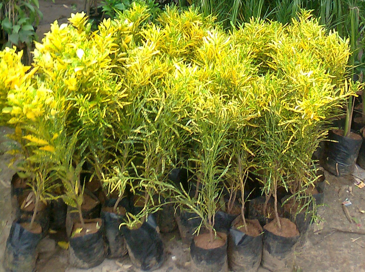 Croton propogation by leaf green ahmedabad for Croton plant