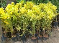 croton plant propogation