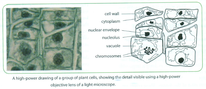 75 drawings biology notes for a level you may be asked to label your drawing in that case use a pencil to draw label lines to the appropriate structure using a ruler ensuring that the end ccuart Gallery