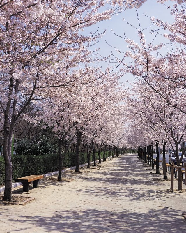 http://4.bp.blogspot.com/-7DVP_nT0i4E/TYjcOcWQ6LI/AAAAAAAAAc8/27YMiyF-FFU/s1600/Sakura_sidewalk.jpg