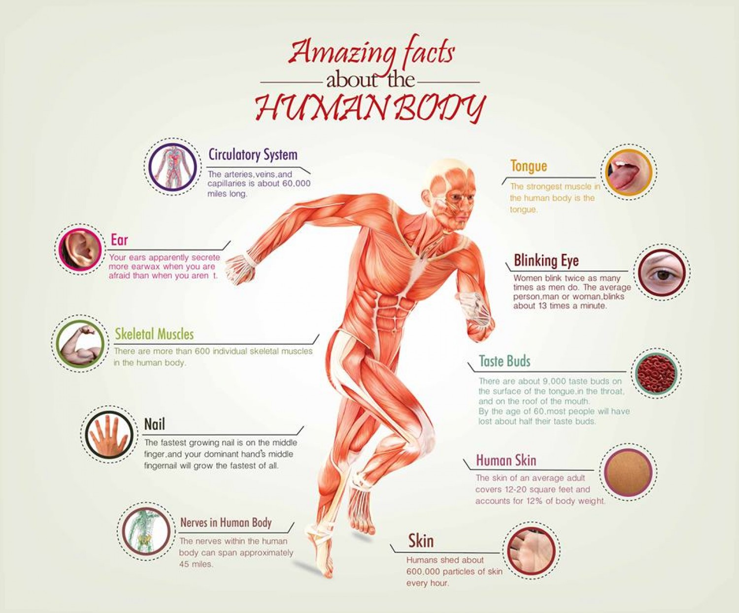 interesting fact about human body., Muscles