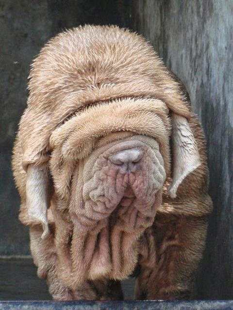 the most  u0026quot havily wrinkled dog in the world u0026quot
