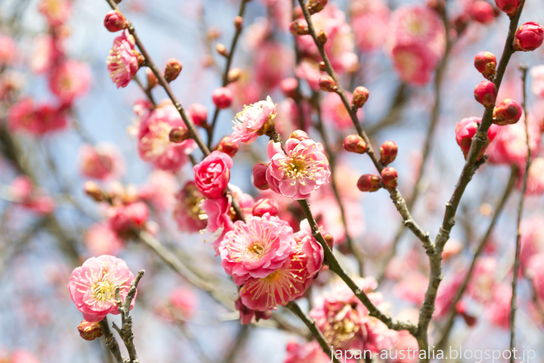 japan australia  plum blossoms at bairin koen