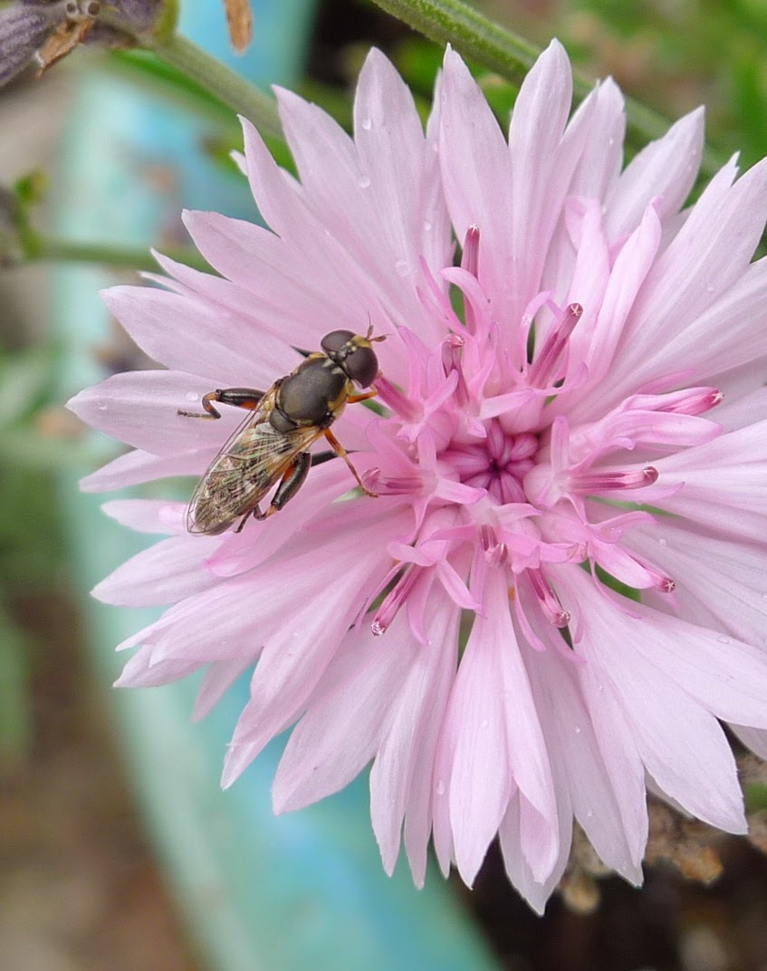 Pollinating fly, pollinators, urban farming
