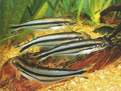 Striped African Glass Catfish