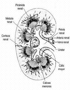 Anatomía y fisiología del riñon