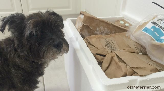 Oz the Terrier | Raw Paws Pet Food delivered on dry ice to your door