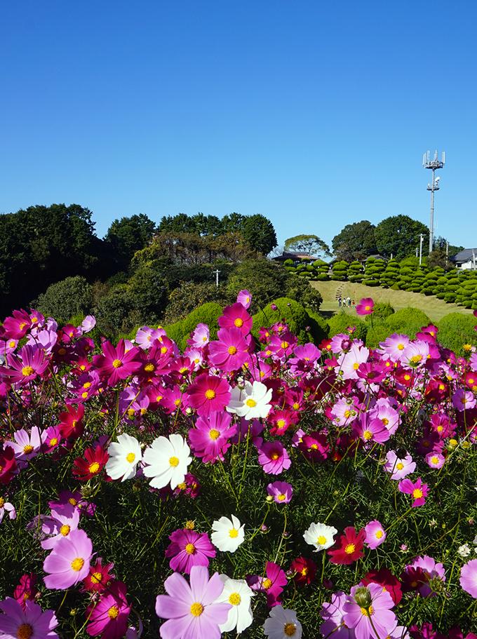 Cosmos, Nokonoshima, Fukuoka