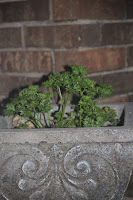 Parsley grown in container on porch~ florida