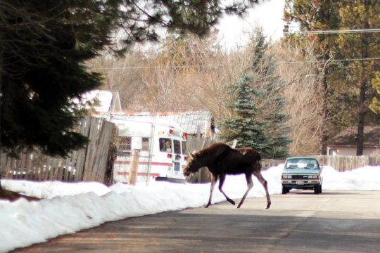 moose crossing street in Sandpoint