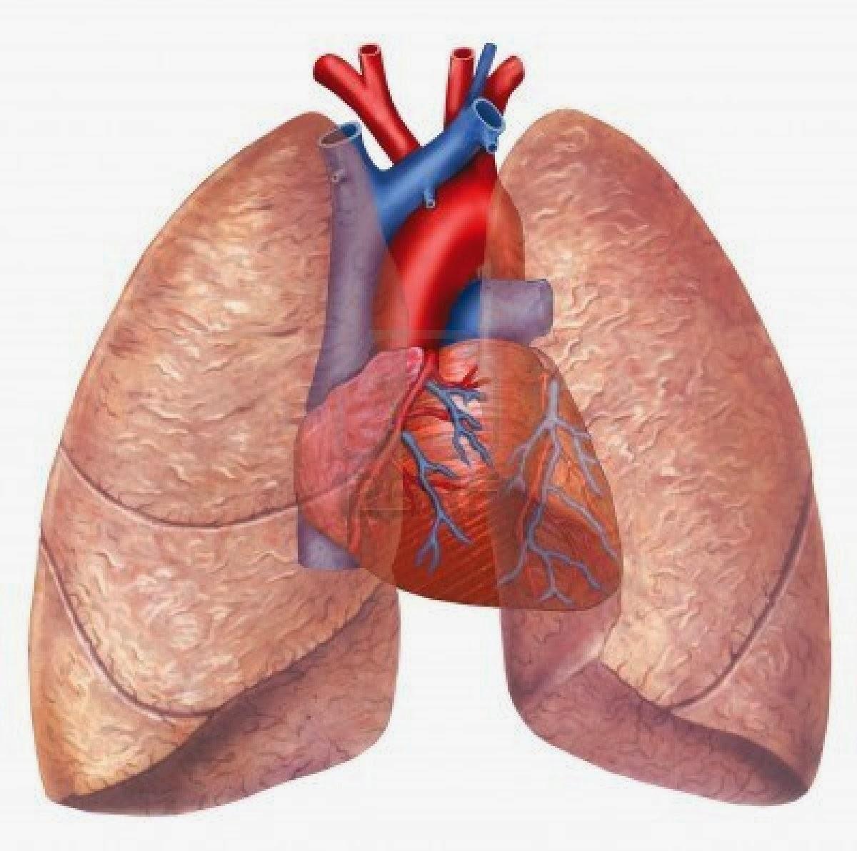 Anatomía Radiológica TORAX: PULMONES