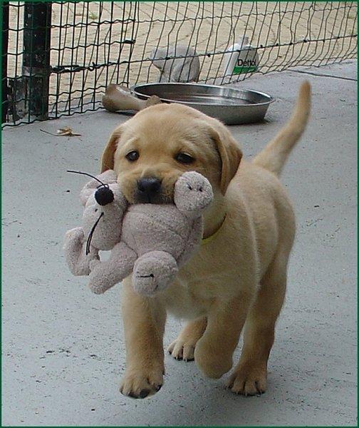 kleur ogen labrador pup