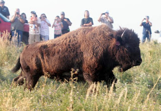 Bison transferred to reservation from Yellowstone