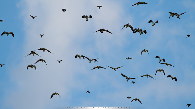 Jagende Bruine Kiekendief brengt onrust teweeg onder de vele Kieviten die massaal op de vleugels gaan.