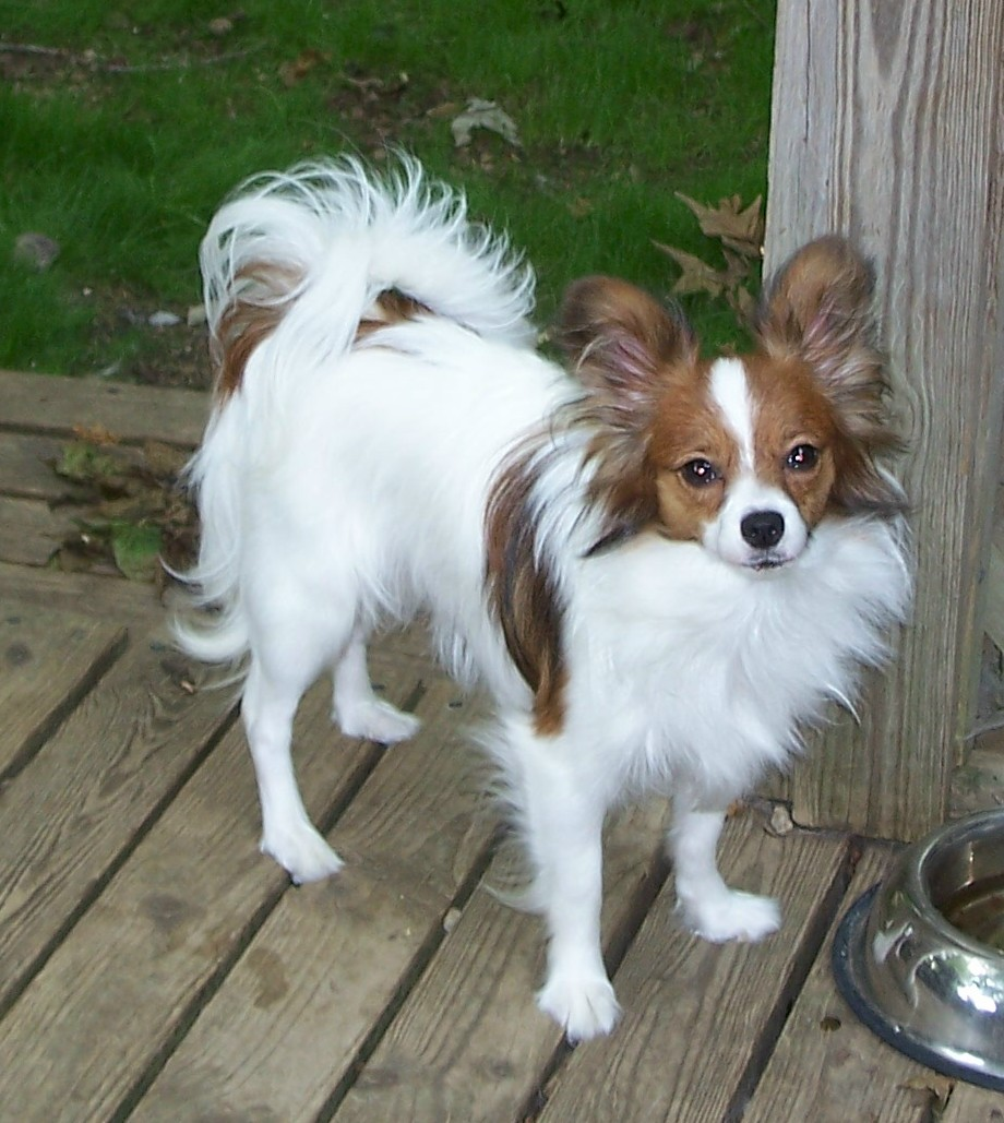 Papillon Dog Breed Pictures