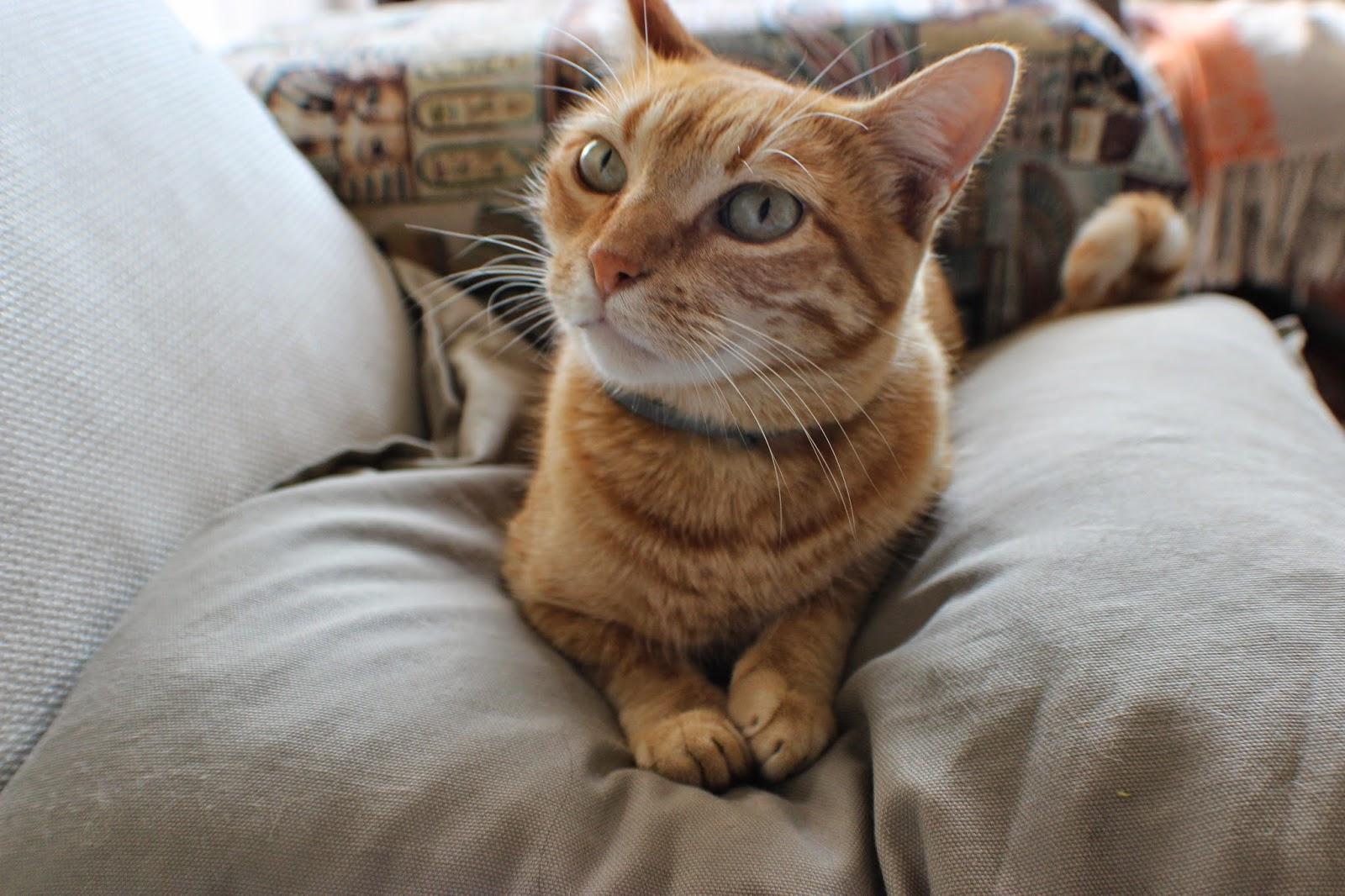 meu gato