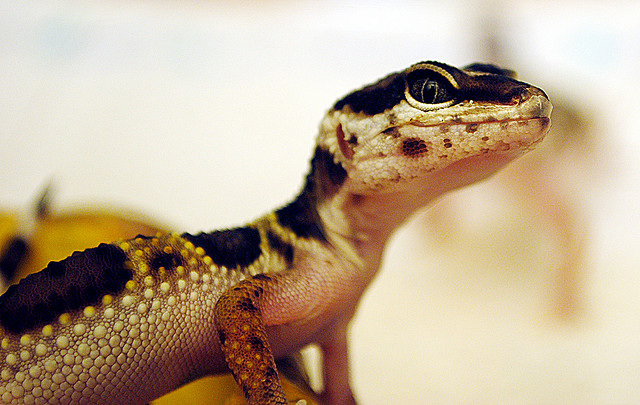The Amazing Gecko 20 Interesting Facts About The World S