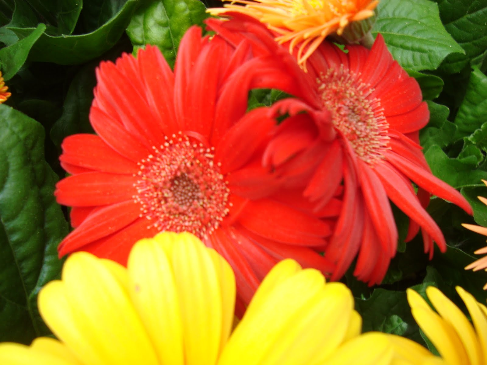 Home And Garden Blog Archive Beautiful African Daisy Gerbera