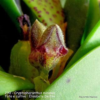 Pleurothallis minimifolia,  Acianthera minimifolia   , Cryptophoranthus minimus.